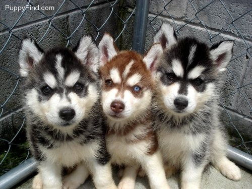 LOVE: Animal Mammals, Photos, Miniatures Siberian, Laurad Siberian, Siberian Husky Puppies, Siberian Huskies, View, Huskies Puppies, Husky Pictures