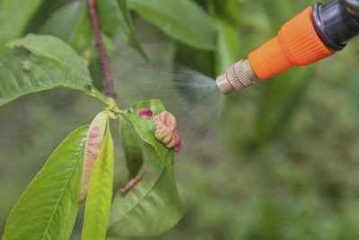 Spraying Peach Trees: What To Spray On Peach Trees -  Peach trees are relatively easy to grow, but the trees need regular attention, including frequent peach tree spraying, to remain healthy and produce the highest possible yield. Click this article for a typical schedule for spraying peach trees.