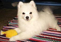 American Eskimo Dog - Wikipedia, the free encyclopedia
