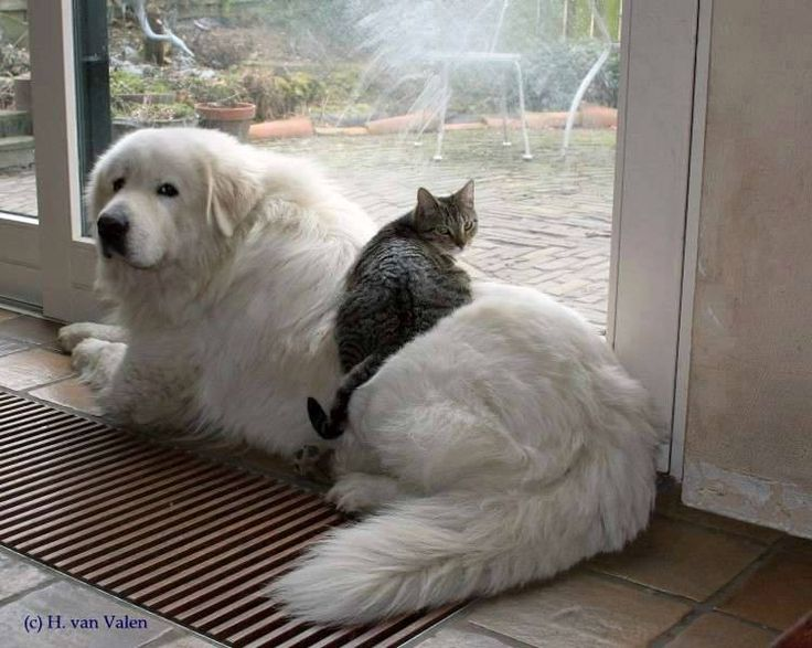 .Great Pyrenees-this just shows how beautiful gentle and huge these dogs are. The cat's pretty cool too.