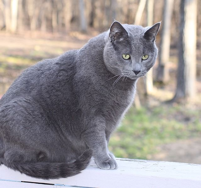 From The Vet 3 Ways To Tell If Your Cat Is Eating Too Much Russian Blue Cat Russian Blue Blue Cats