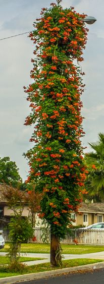 Balboa  Sunset' Trumpet Vine is a selection of the Trumpet Vine, species known by many names – Campsis radicans, Trumpet Creeper, Cow-itch Vine or Hummingbird Vine.