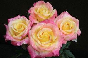 Bee's Knees™ miniature rose