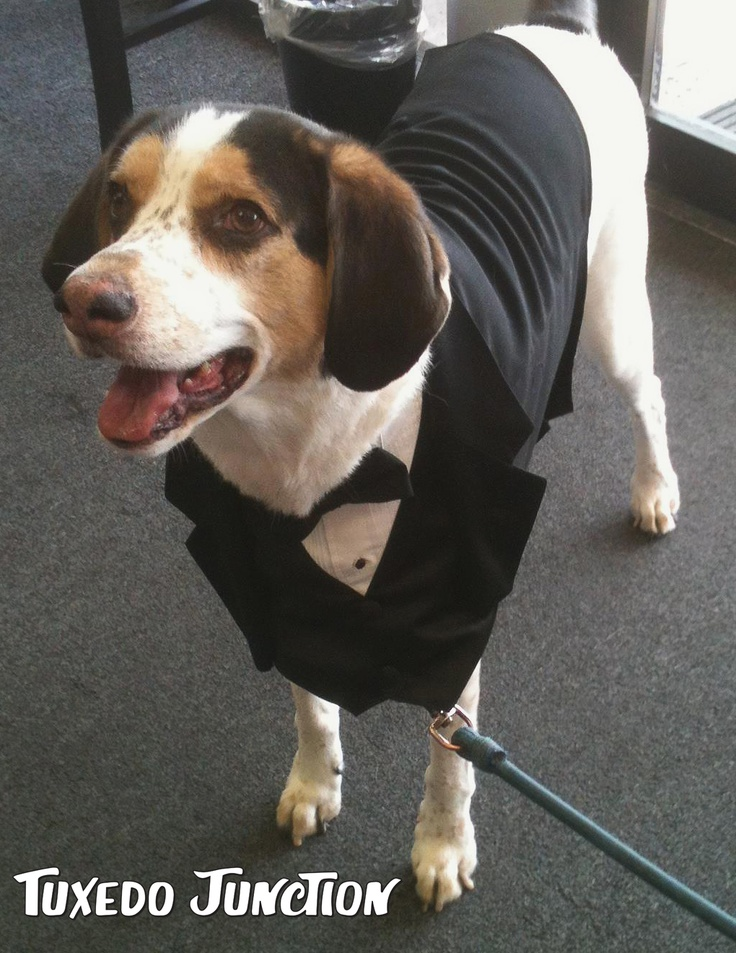 Dog tuxedos are fun for any wedding or event. Tuxedo Junction in Las Vegas rents and sells these cute dog tuxedos in a variety of sizes for man's best friend. #dog, #tux, #puppy, #tuxedojunction, #lasvegas, #wedding, #dogcostume, #tuxedo