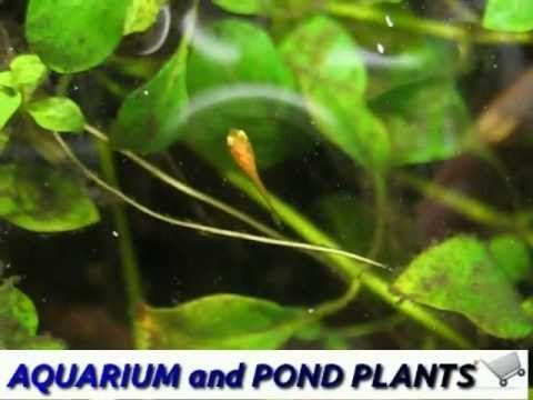 Fry of swordtail hiding in Ludwigia repens - YouTube
