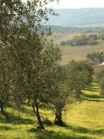 Olives orchard