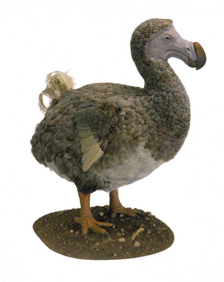 extinct species dodo bird One of the most compelling animals to ever go extinct is the dodo bird the tale starts on the island of mauritius, which was first discovered by the.