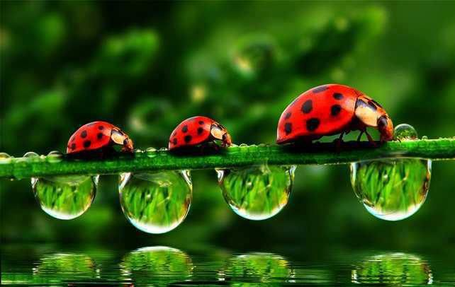 3 ladybirds and droplets on leaf
