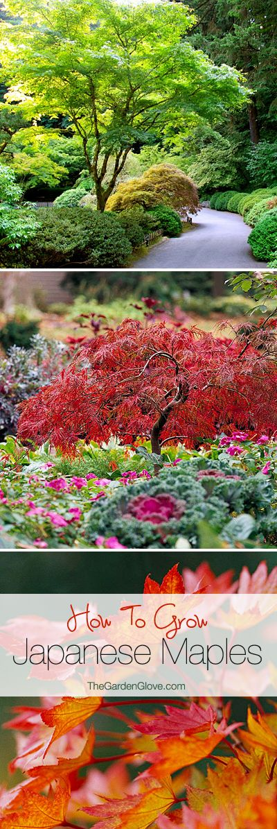 How to Grow Japanese Maples by thegardenglove #Garden #Japanese_Maple