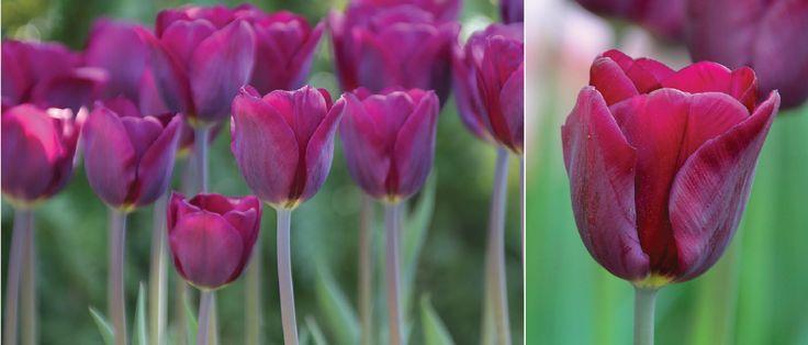 Wholesale Indoor & Outdoor Flower Bulbs Direct For Sale