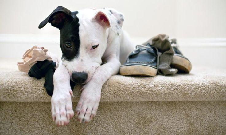 Ataques de pánico en perros, ¿es posible?