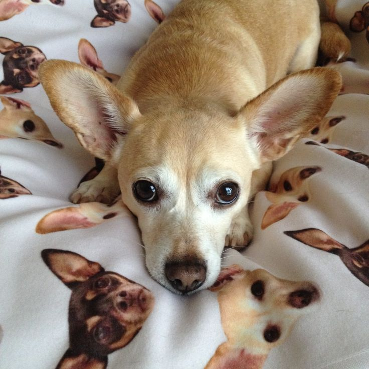 Chihuahua corgi mix. A so-called Chigi is one of the friendliest dogs. It is a perfect pet for both young and older children, if taught how to gently handle a dog. Read more: http://ipembroke.com/corgi-mix/chihuahua-corgi-mix