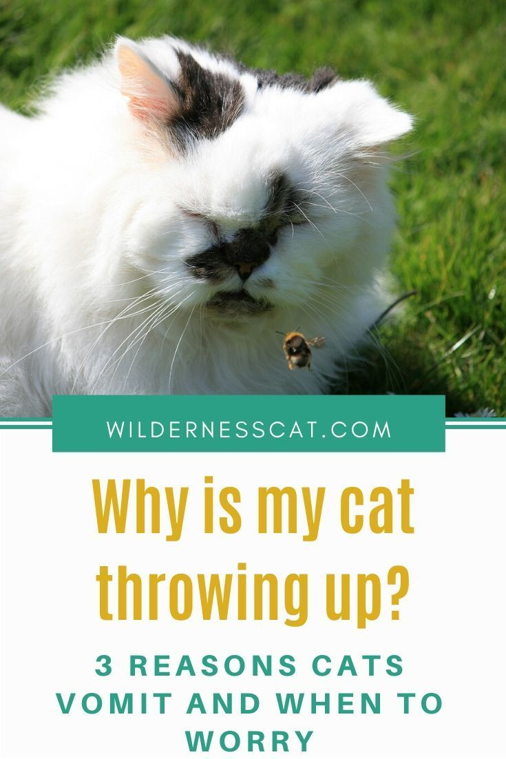 Why is My Cat Throwing Up? Types of Cat Vomiting and When to Worry ...