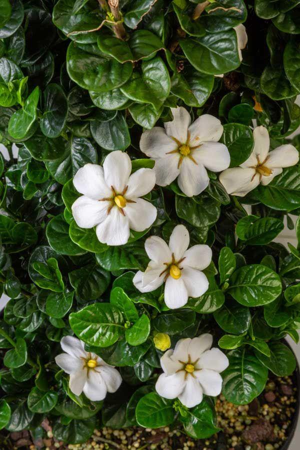 Diamond Spire Gardenia Shop Online With Plantsbymail Com With