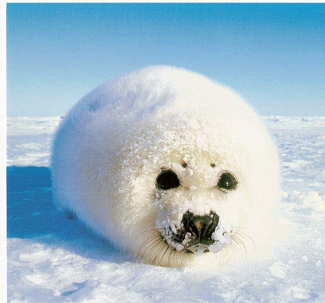 Snowy White Seal #cute #animals