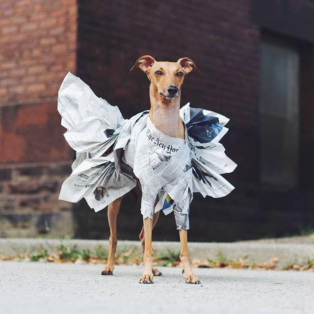Did Somebody Say Fashion Dog Mommy Whippet Italian Greyhound
