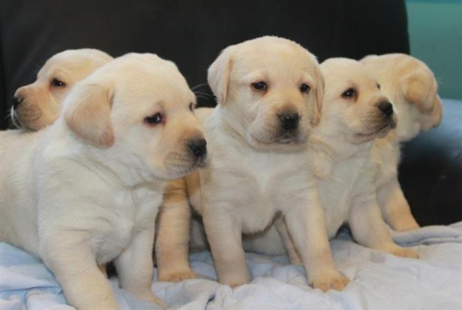 Excellent Quality Of Labrador Puppies For Sale Labradorpuppyforsaleinchennai Labrador Puppy Golden Retriever Mix Puppies Labrador Puppies For Sale