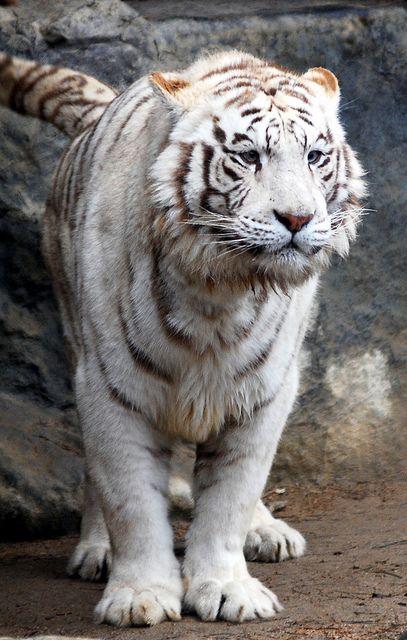 White tiger, via Flickr.