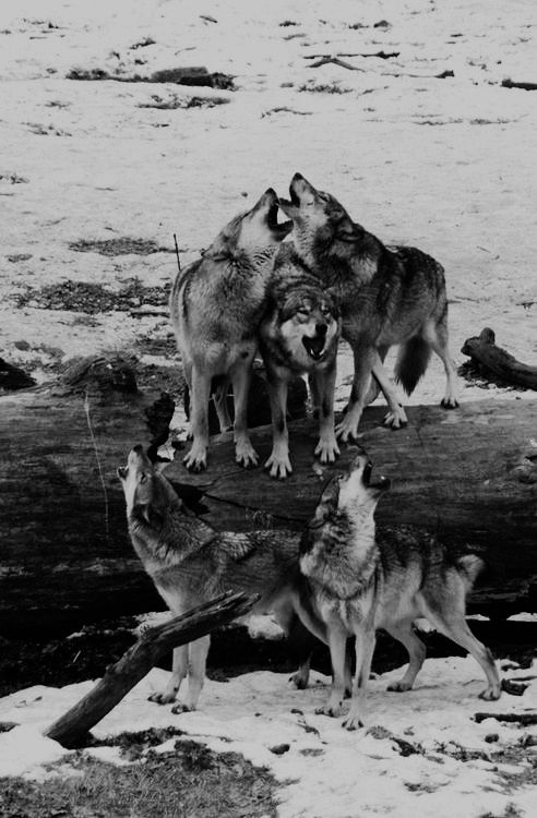 It's a pack of timber wolves ( Gray wolves )howling to gather for a lunch