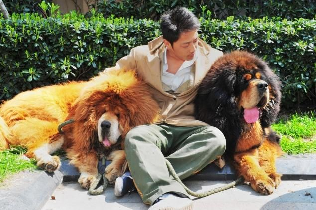 Though just a puppy, the dog at left who fetched the record-breaking price is said to weigh nearly 200 pounds.