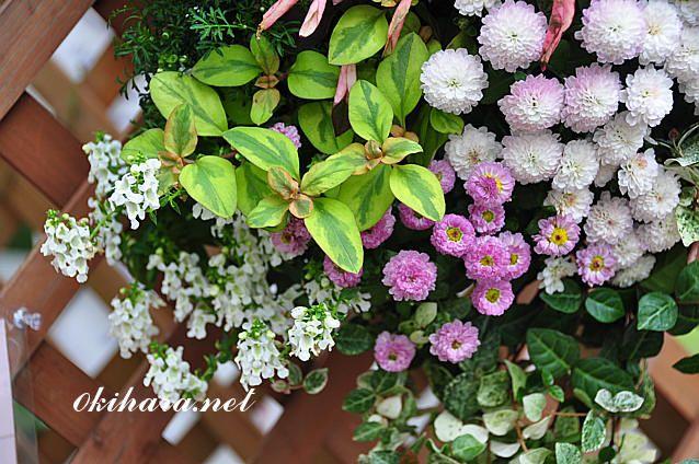 植裁植物名:ガーデンマム、エキセレントマムピコ、ペンタス、姫小菊、ハツユキカズラ、リシマキアリッシー、アキランサス、イソギク、アンゲロニア、リンドウDSC_9142_20111011215803.jpg