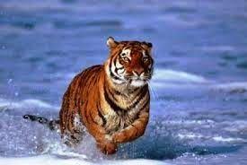 Πλησίστιος...: Η Τίγρης