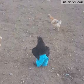 Chicken Runs Around Wearing Blue Pants   Gif Finder – Find and Share funny animated gifs