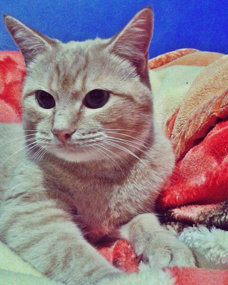 Miauzinho ♡ #Miau #GatíssimosHor #Gatos #Laranja #Amarelo #Amor #Cores #Instacat #Gatinhos #Cat #CatLovers #Pets #Yellow #Orange #Meow #Kaze #Chat #Colors