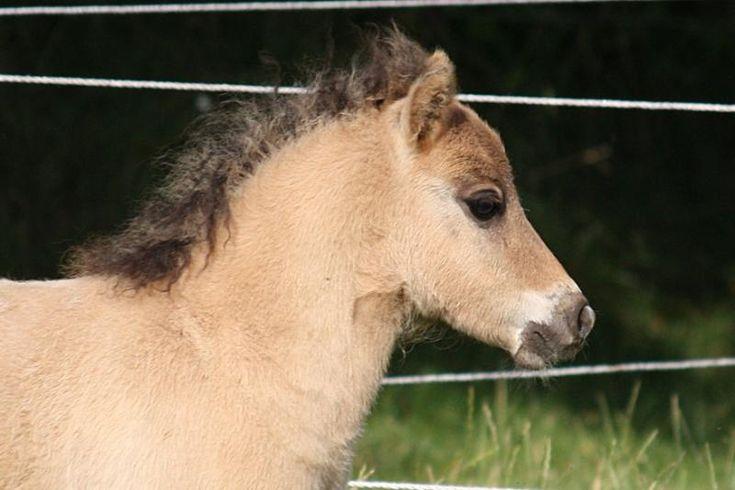 Horses for sale - Shetland Pony Horse Germany Breeding For sale Schalenburgs Trumpf Ass