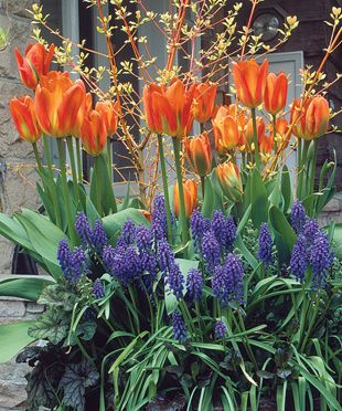 Planting Spring Bulbs in Containers. Learn how here http://www.finegardening.com/design/articles/planting-spring-bulbs-containers.aspx