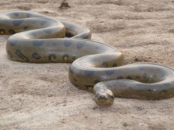 Ular besar Anaconda bisa berteman dengan seekor burung