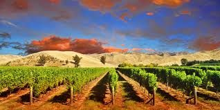 Image result for brancott vines