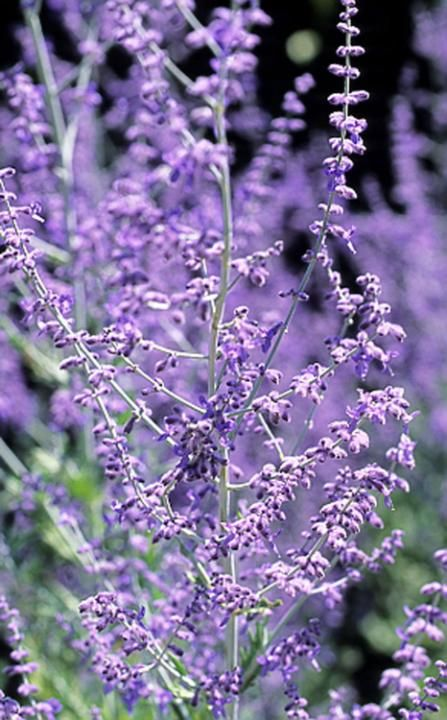 Perovskia atriplicifolia 'Blue Spire' has fall interest with its purple blooms. This plant will go well with several other purple features of the landscape. I have always been fond of this silvery foliaged plant.