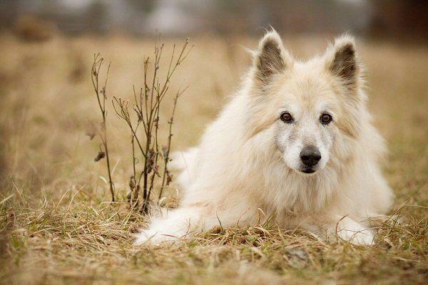 El perro Pastor Garafiano es un perro canario, de poca población pero con una gran tradición de ayudante rural y ahora como excelente perro de compañía.
