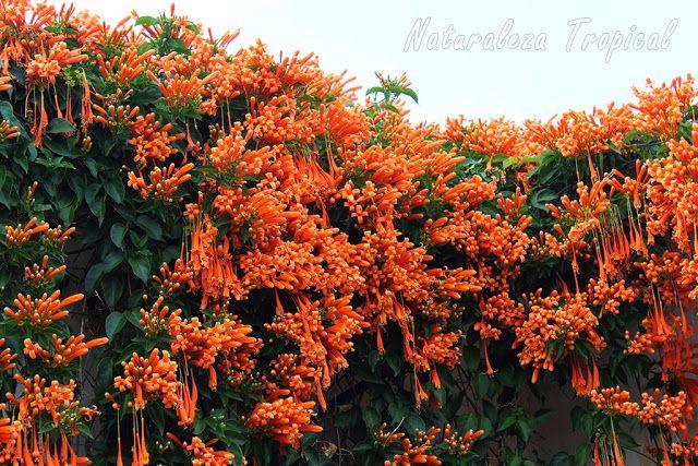 Floración explosiva de la Liana de Fuego, Pyrostegia benusta, Lluvia de oro, Bignonia de invierno, Trompetero Naranja, Lluvia de Fuego, Bignonia ígnea.