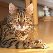 Bengal cat - Wikipedia, the free encyclopedia