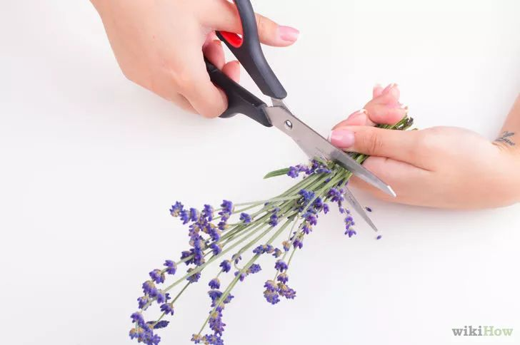Imagen titulada Make Lavender Oil Step 1