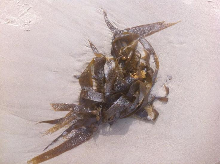 Carlton Beach, Kelp.