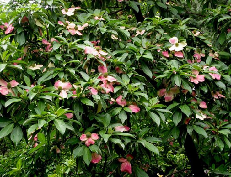 Pink evergreen Kousa dogwood""