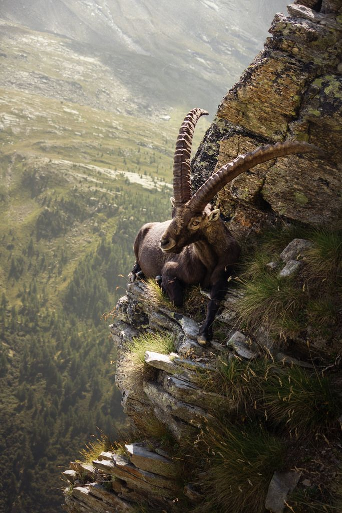 The Mongolian Ibex in its natural habitat admiring the landscape.
