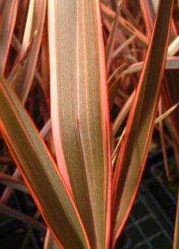 Phormium 'Maori Queen' Familia:Phormiaceae Origen:N.Zelanda Compacta Perenne Altura (cm): 120/150 Anchura (cm): 80/100 Temperatura: -7ºC Zona 8 A pleno sol Muy resistente a la sequedad Resistencia ante la salinidad y la brisa marina