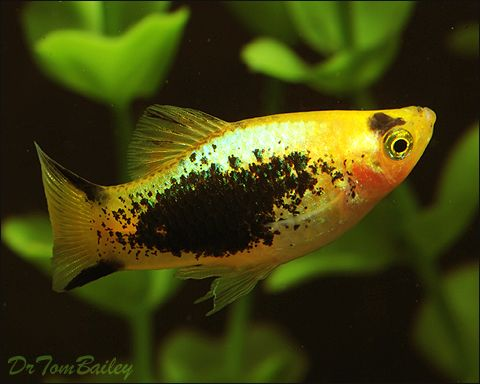1000 images about platys on pinterest shops other and for Platy fish breeding