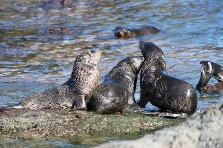 Seals at Cape Palliser