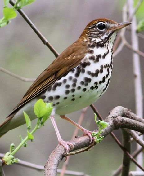 The song of the Wood Thrush is heaven to my ears.... when I was a child we…