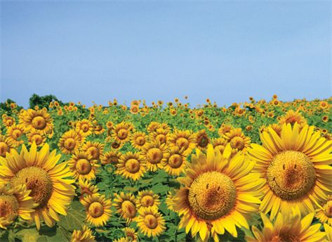 A smiley field of sunflowers!