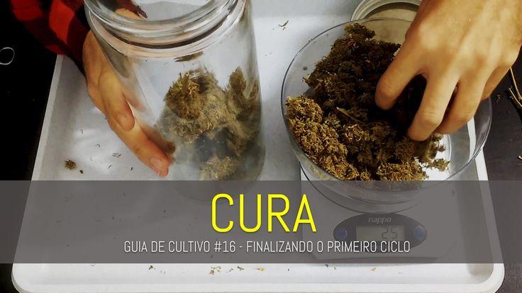 COMO CURAR UMA COLHEITA DE MACONHA   GUIA DE CULTIVO #16   FINALIZANDO O CICLO