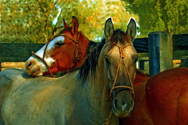 1000+ Images About Horse's: Grulla, And Roan Colors On