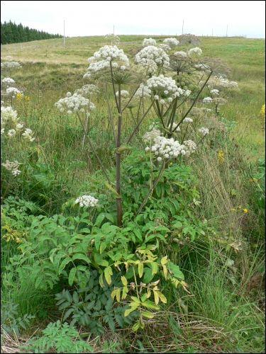 54 best images about herbier on pinterest taraxacum for Plante 7 folioles