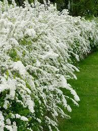 livingselect Spierstrauch Hecke, weiß blühend, 4 Pflanzen