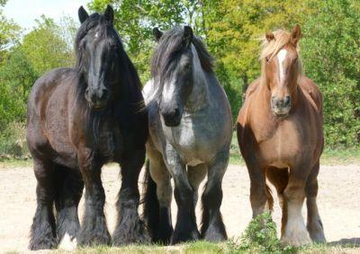 Pferde kaltblüter Belgier